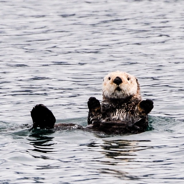 Whats there not to like about Sea Otters? Unfortunately see that 20,000 gallons of oil leaked into the ocean near Santa Barbara. Hopefully the animals swam away. Photo taken at Point Lobos preserve June 2008. This preserve is just south of Carmel and is a must visit.