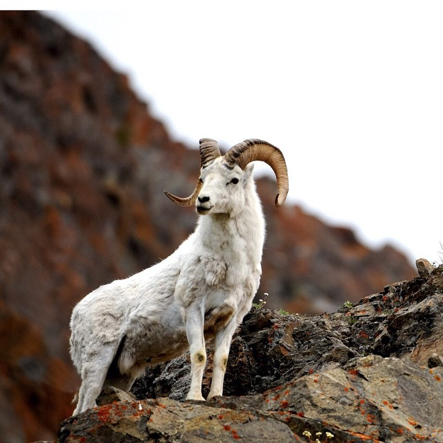 Head south out of Anchorage, look left up on the cliffs and you will see these cool looking sheep. They are Dall Sheep to be exact.