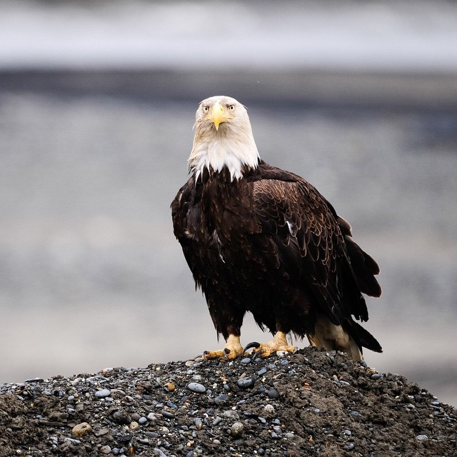 Lots of Eagles in Alaska. Lots here in Michigan too. Have had one flying by my office all day long today  chowing down on fish.