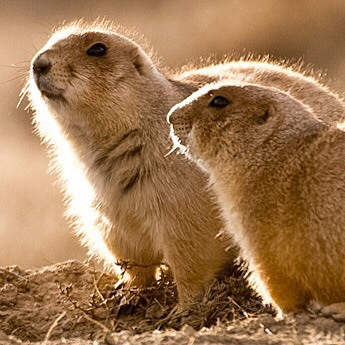 Prairie dog glow. Showing North Dakota some love today. October 2008