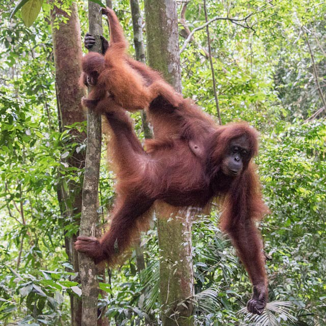 Hanging out. One of the few places you can see Orangatangs in the wild. Bukit Lawang Indonesia. December 2015