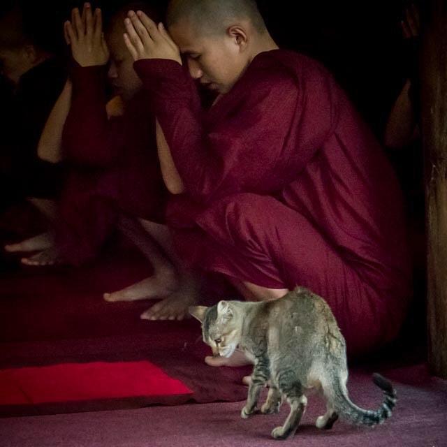 Cat & Monk. Mandalay Myanmar. January 2016