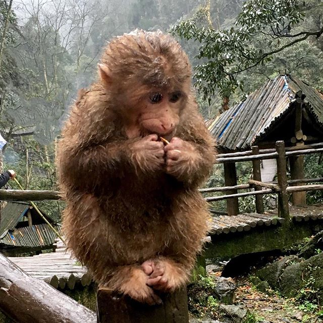 I mean who doesn't like a cute monkey photo? They roam around on the local mountain here. Mount Emei, China